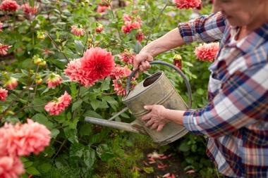 eldre kvinne vanner blomster i hage